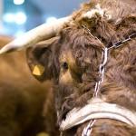 Veaux, vaches, cochons…