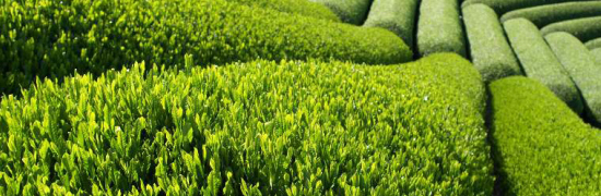 tea_plantationsmall