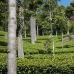 Des champs de thé à perte de vue…