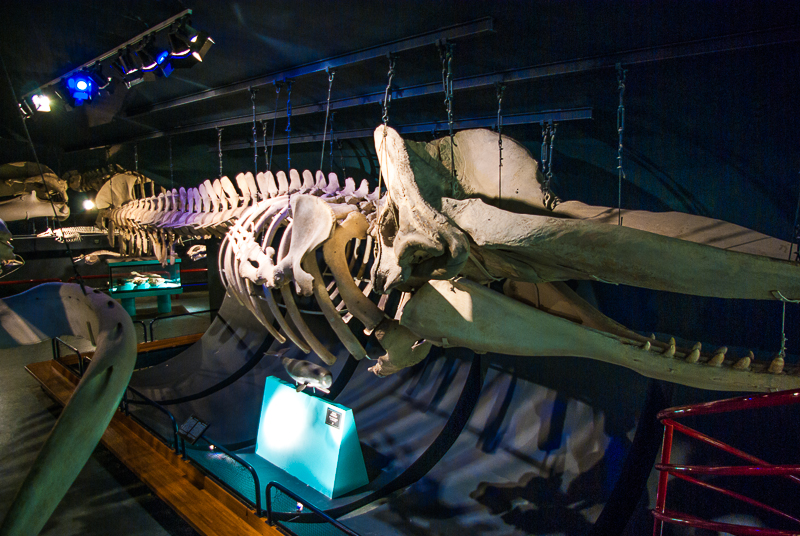 musee-histoire-naturelle-baleine