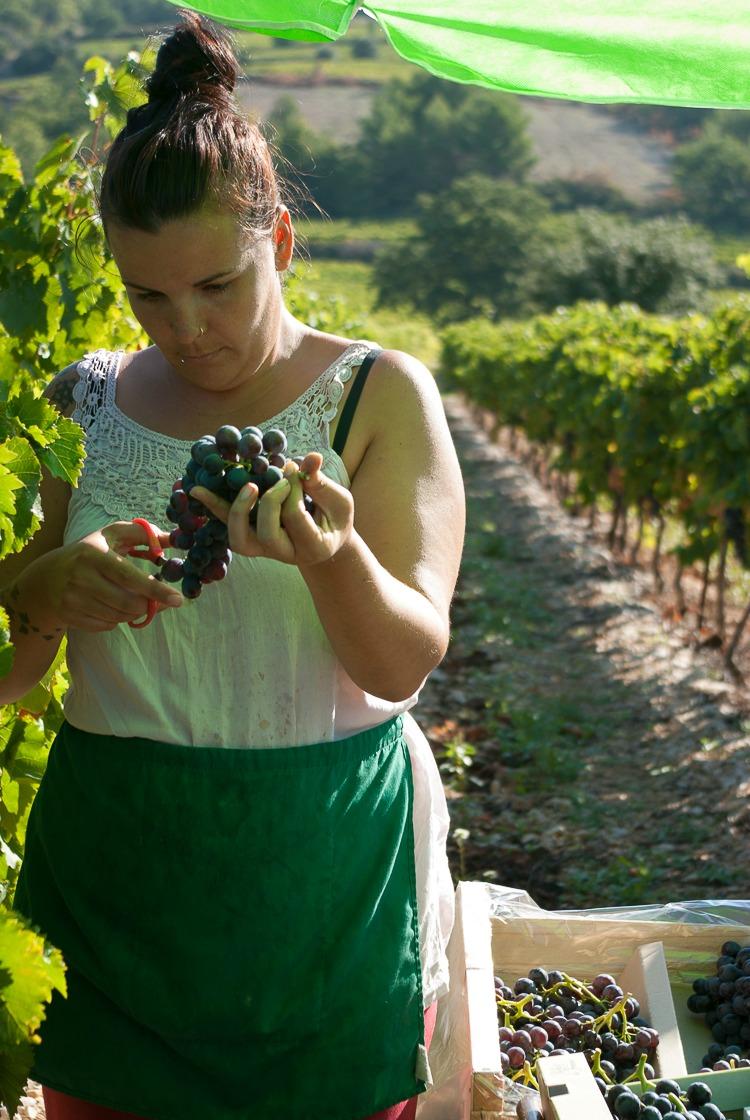 vignes-ventoux-vendange