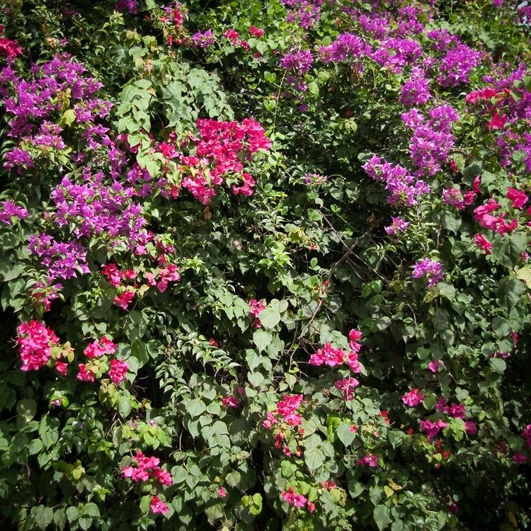 martinique-habitation-clement-hibiscus (2 sur 1)