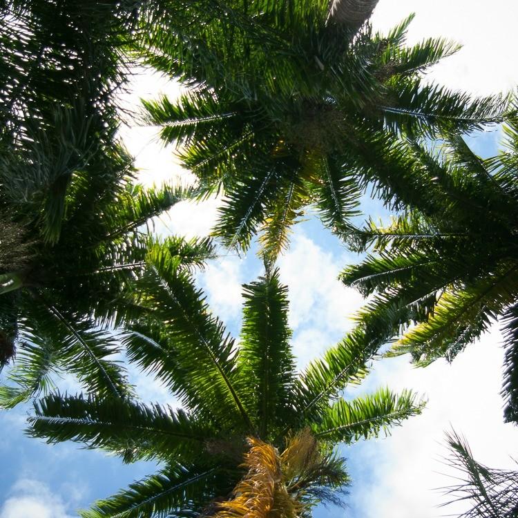 martinique-habitation-clement-palmiers (2 sur 1)