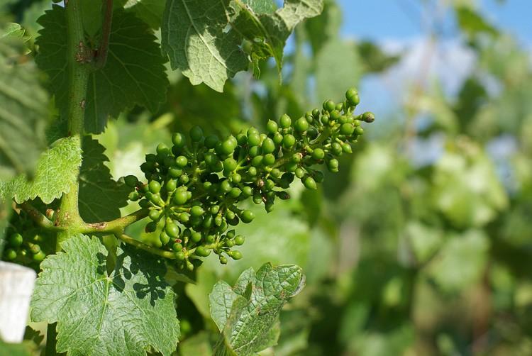 Vigne-Coteaux-du-saillant-vezere-vigne
