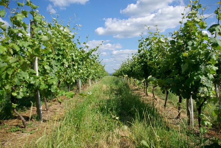 vigne-coteaux-du-saillant-vezere