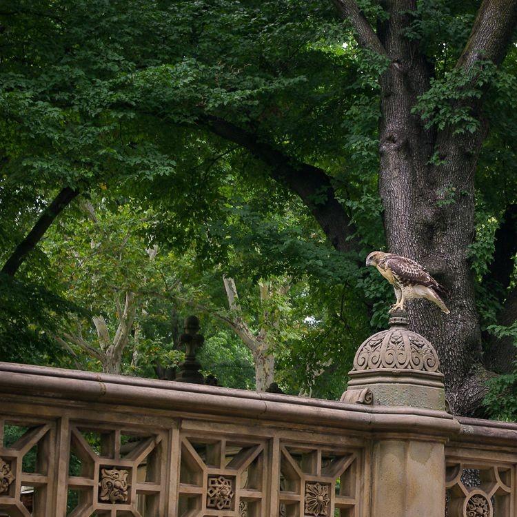 Central-park-faucon
